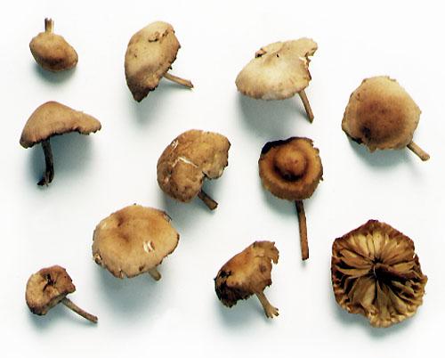 Fairyring mushroom