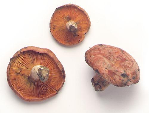 Lactarius