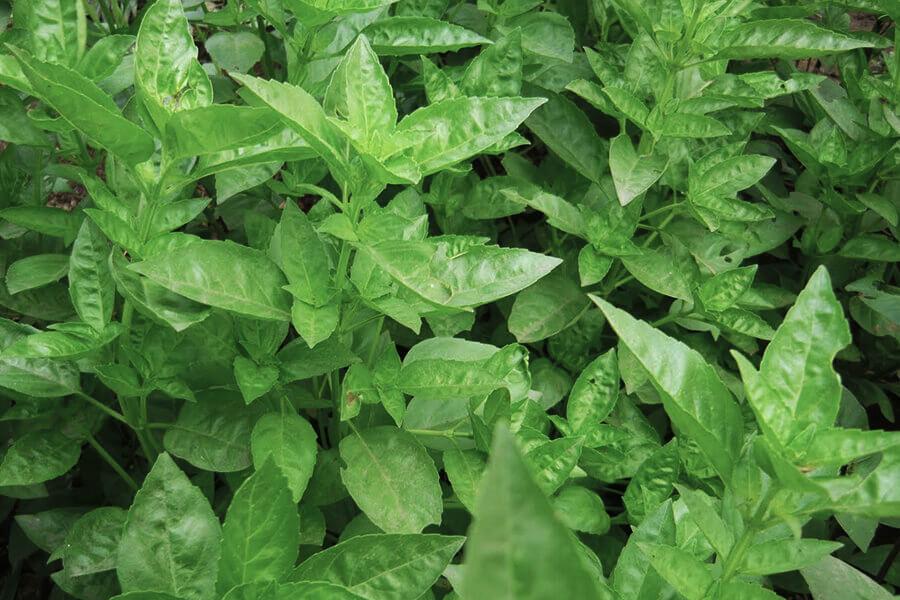 Herba aromàtica